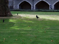 Crows in the Tower of London